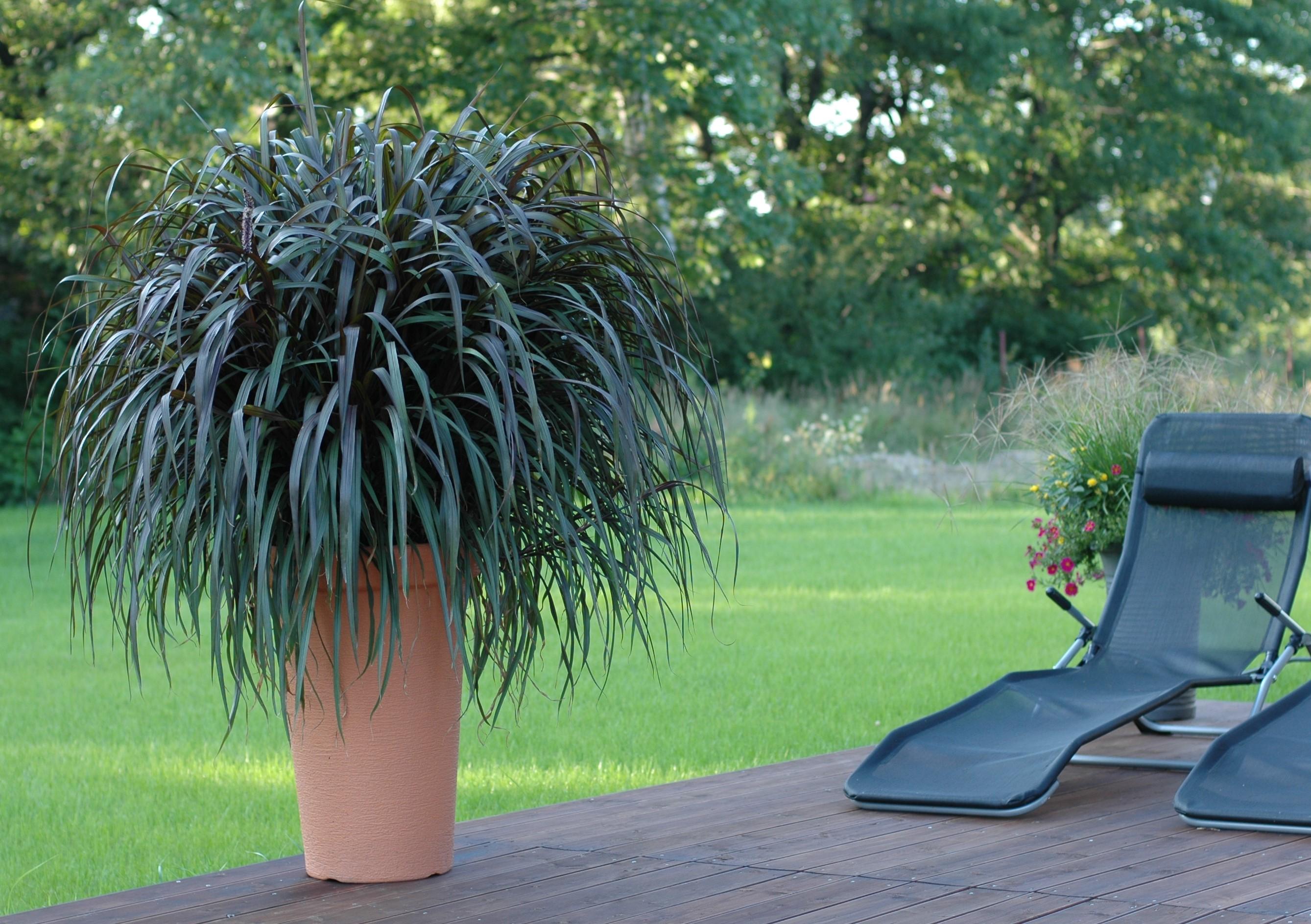 Trawa ozdobna - Vertigo (Pennisetum purpureum)