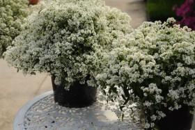 Euphorbia®