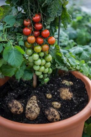 Pomidoroziemniak - TomTato